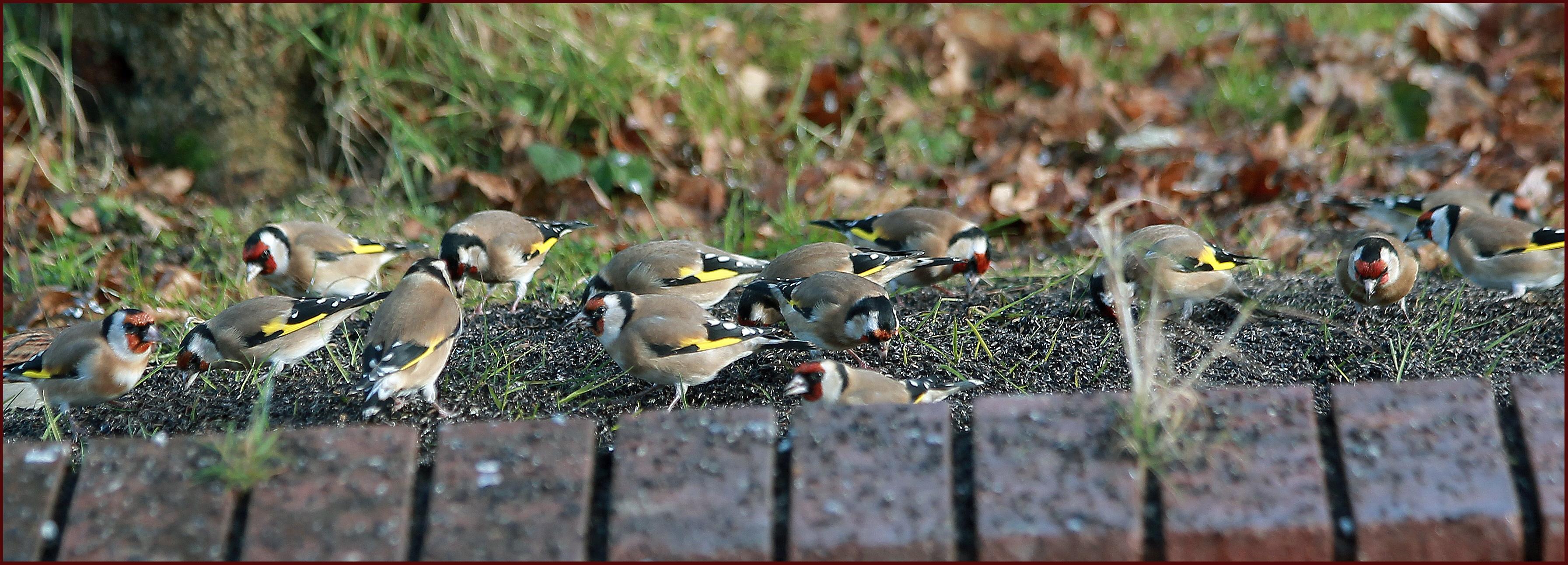 Goldfinch's goldfinch flock