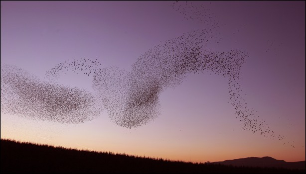 starling roost 3