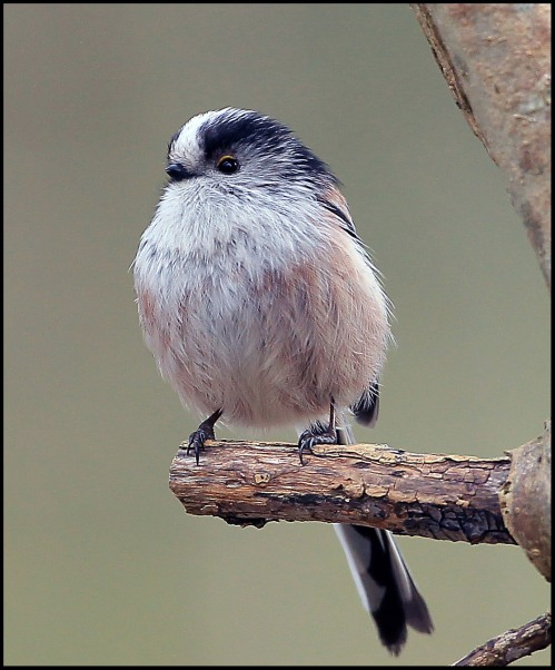 Long tail tit blog