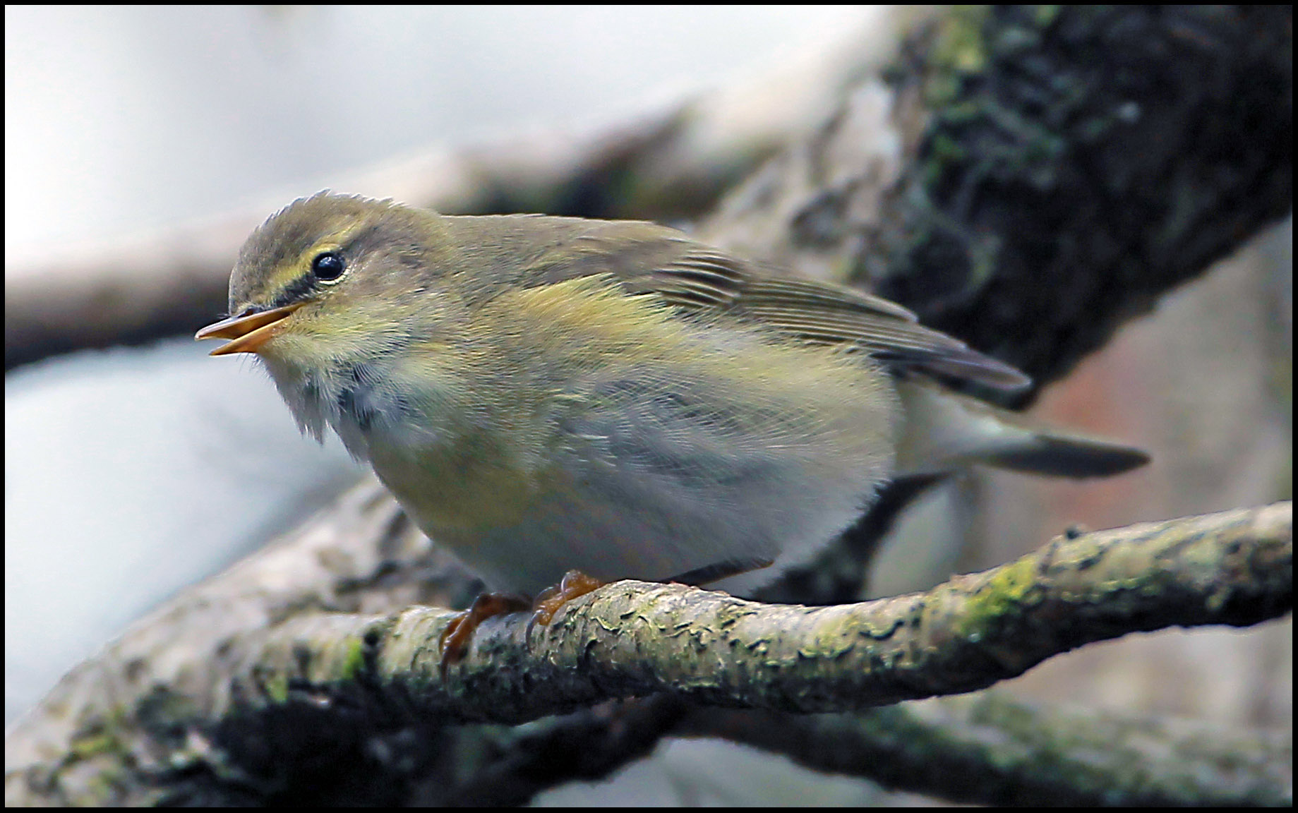 Willow warbler and woodland birds