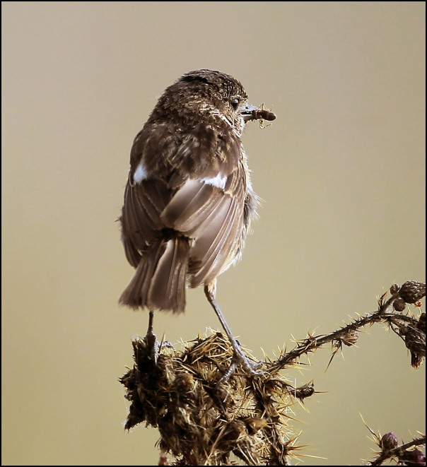stonechat in the mist