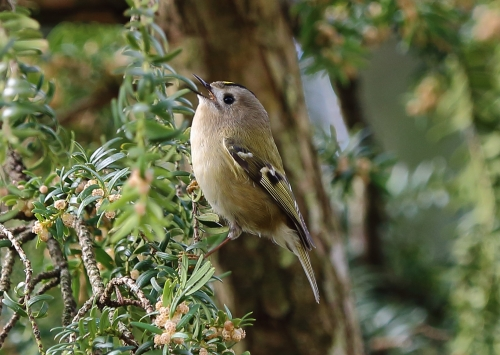 GOLDCREST AT ROCK PARK