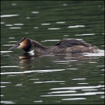 grebe in attack mode