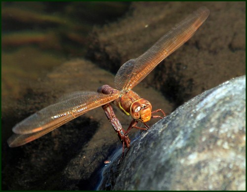 brown hawker egglaying