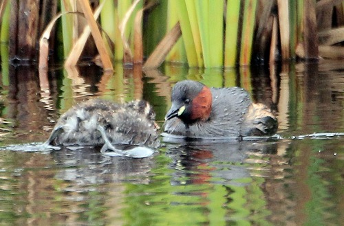 little grebes 2