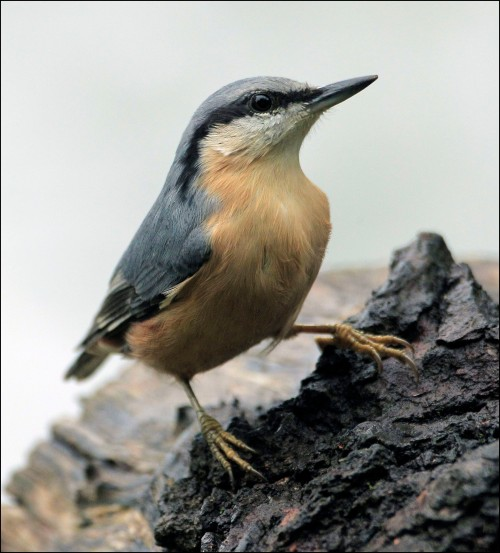 nuthatch 2 lake
