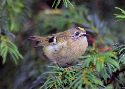 goldcrest lake 2 (1)