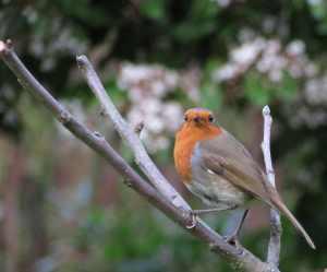 robin apple tree