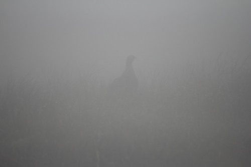 red Grouse mist_filtered