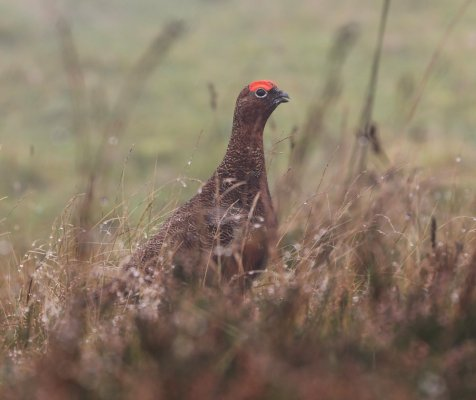 red Grouse_filtered