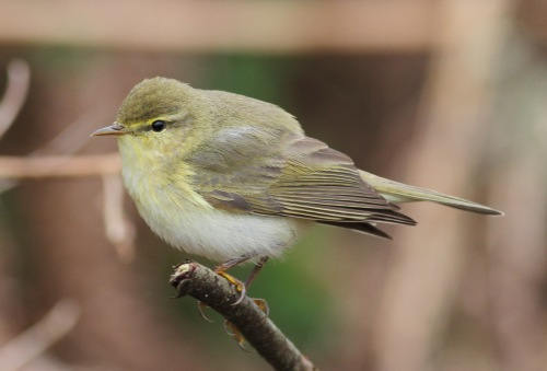 Willow warbler.....(by song)