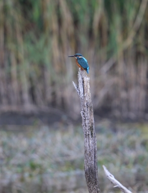 Waiting for the Great White Egret to come closer, then a flash of blue, seen from the hide at 3.30pm