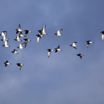 golden plover flock-03