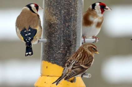 Goldfinch & Redpoll 01