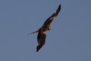 Red Kite 03