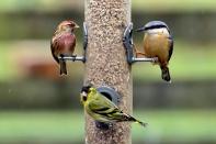 Mixed birds feeding 11
