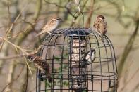 Tree Sparrow 03