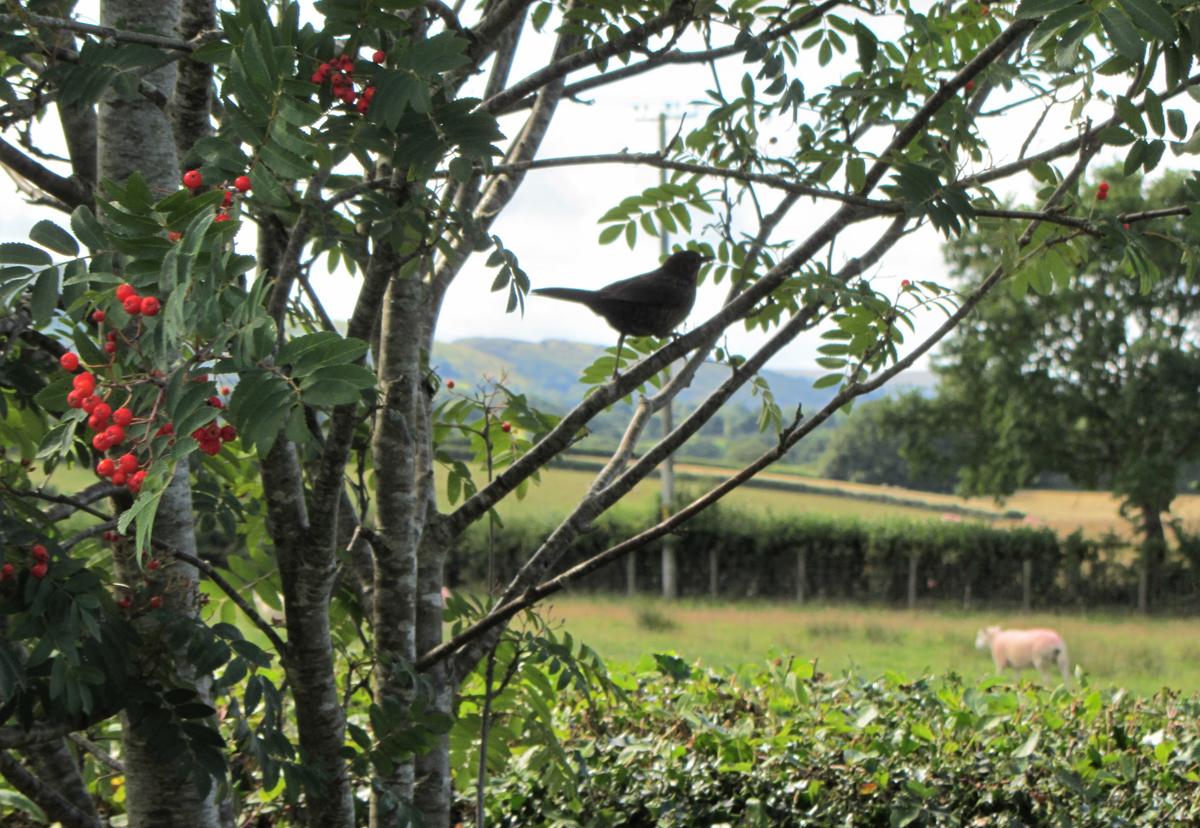 blackbird & sheep